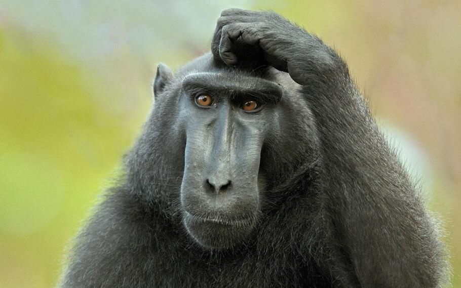 primate head scratch