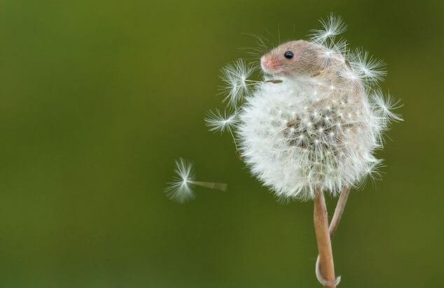 mouse spreading dandelion seeds crop