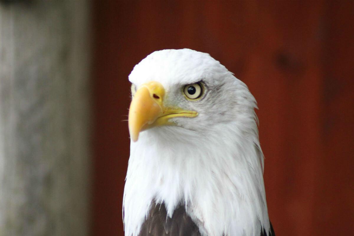 noble eagle stare 1